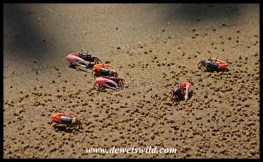 Fiddler crab males