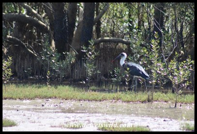 Woolly-necked stork feeding in the mangrove swamp