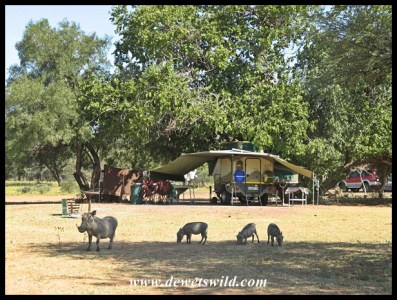 Warthogs at home in Bontle