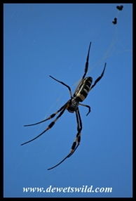 Female Golden Orb Web Spider