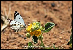 Bontle's also home to other beauties - this is a Brown-veined White butterfly