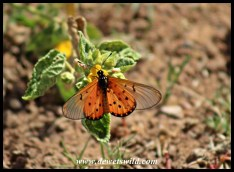 Bontle's also home to other beauties - this is a Garden Acraea