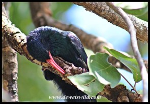 Green, or Red-billed, Wood-Hoopoe