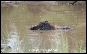 Warthog cooling off in the midday heat