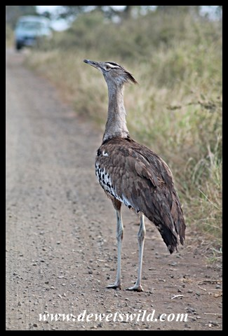 Kori bustard, one of the biggest flying birds on earth