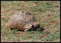Leopard tortoise feeding on fresh shoots next to the road