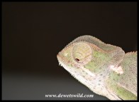 The guides are expert at seeing chameleons in the spotlight