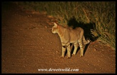 African wildcat seen on a night drive from Lower Sabie