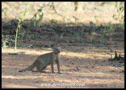 You'll often see troops of banded mongoose crossing roads in the Kwaggasvlakte section of Marakele National Park
