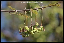 Sickle Bush seedpods