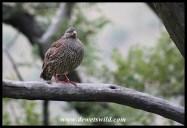 Natal spurfowl