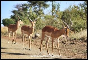 Impala bachelors