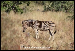 Plains zebra stallion