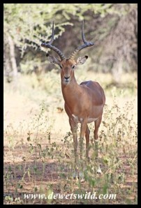 Impala ram near the hide