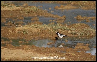 Blacksmith Lapwing at Bollonoto