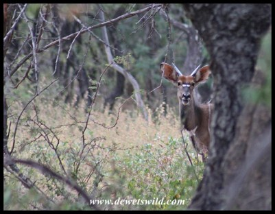 Young nyala bull near the hide