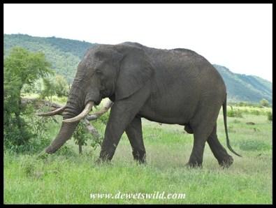 Elephant bull with Muntshe in the background