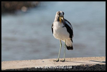 White-crowned Lapwing on the bridge