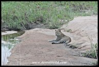 Leopard lying in the bed of the Nwatimhiri near Skukuza in the Kruger Park