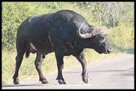 Buffalo crossing the H4-1
