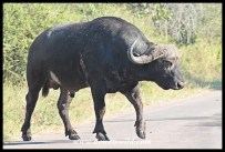 Buffalo crossing the H4-1