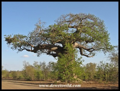 Von Wielligh's baobab in summer
