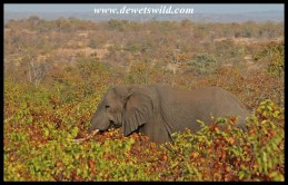 Elephant moving through Mopane scrub