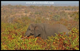 Elephant moving through the mopane