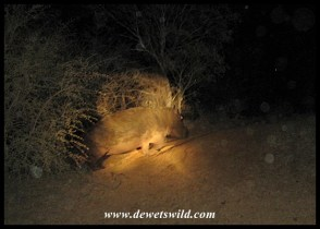 Hippo encountered on a night drive from Olifants