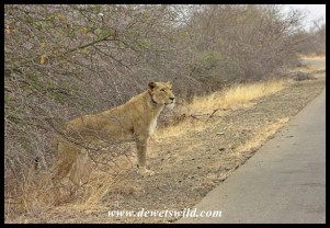 Lioness along the H1-4 just south of the Olifants River