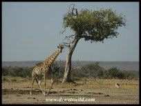 Giraffe walking away from Bangu in the Kruger Park