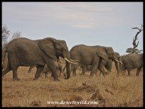 Herd of elephants on the dry plains south of Olifants