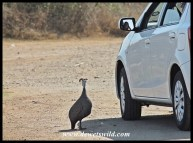 Guineafowl hoping for a morsel - don't be tempted!