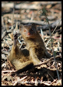 "Is this how mongooses give a ""high 5""?"
