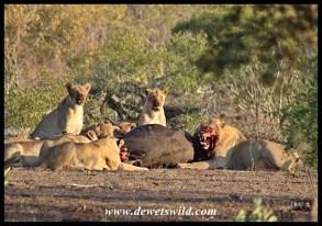 Lion pride with buffalo kill