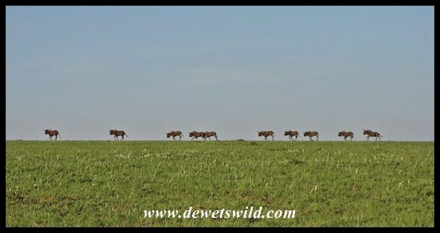 Black Wildebeest (1)