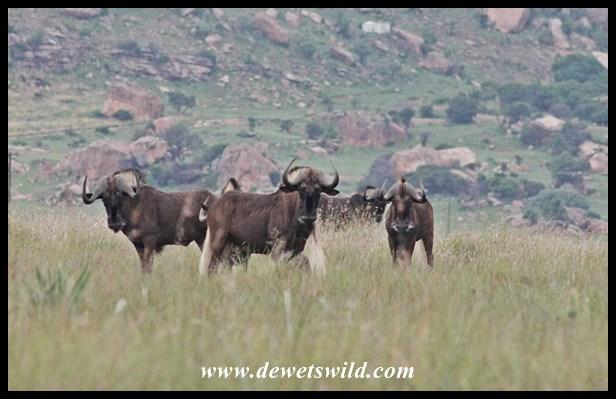 Black Wildebeest (10)