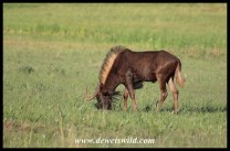 Grazing black Wildebeest