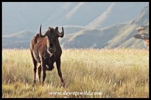Menacing, territorial Black Wildebeest Bull