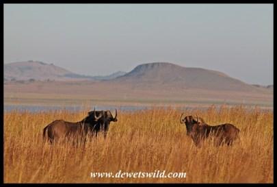 Black Wildebeest prefer open grasslands