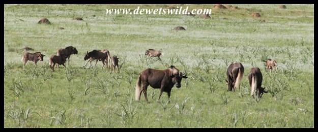 Black Wildebeest (6)
