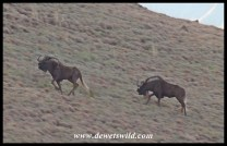 Black Wildebeest are incredibly athletic