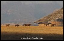 Black Wildebeest herd in the highlands