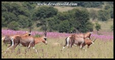 Blesbok herd on the move