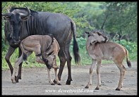 Blue wildebeest twins