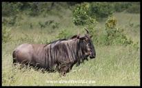 Vigilant blue wildebeest bull
