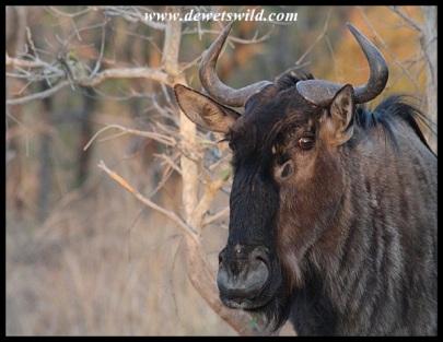 Blue Wildebeest cow close-up