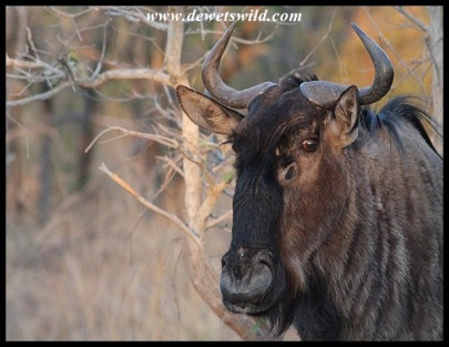 Blue Wildebeest cow close-up