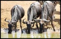 Blue wildebeest require regular access to drinking water