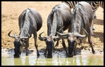 Blue wildebeest require regular access to drinking water